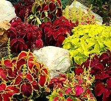 Coleus Garden Patch by ctheworld