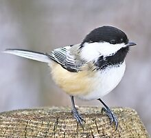 Chickadee on a used to be tree by Heather King