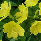 Delicate, yellow flowers by Ana Belaj