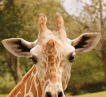 Giraffe  by SoftHope