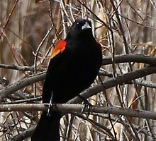 Red winged blackbird by Jane Holt