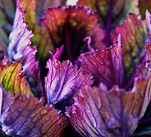 Ornamental Cabbage Rainbow by Gilda Axelrod