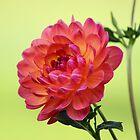 Pinkish Yellowish Dahlia by Gilda Axelrod