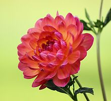 Pinkish Yellowish Dahlia by Gilda Axelrod