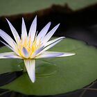 Water lily by JennyLee