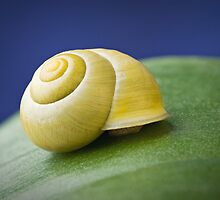 Snail with shell on leaf in detail by odstrcil