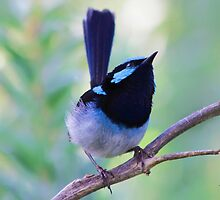 Blue Fairy Wrens are Superb by twolittlewrens