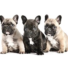 French Bulldog Puppy Pals  by Andrew Bret Wallis