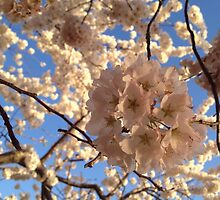 Cherry Blossoms by mystereoheart