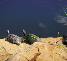 Turtles by pjm286