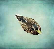 Brown Duck on Teal Blue by BrookeRyanPhoto