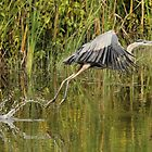 Great Blue Takeoff by Todd Weeks