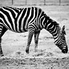 Plains Zebra by Cynthia48