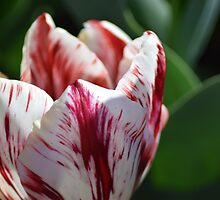 Ripped! This tulip has been working out. by ShonaI