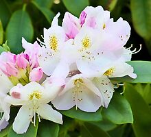 Rhododendron by missmoneypenny