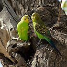 BUDGERIGAR TWOSOME by Raoul Madden