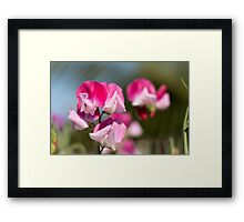 Pink & White Sweetpea Framed Print