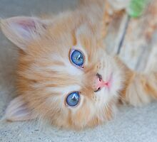 Orange Tabby Kitten by Mythos57