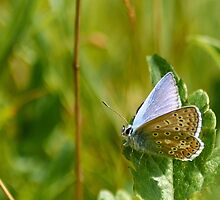 Common blue butterfly by Sara Sadler