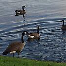 Geese by WeeZie