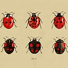 Coccinellidae entomology studies fig. 11 by djrbennett