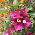 Bright Bougainvillaea   by PetaStreet