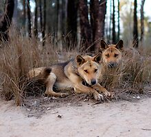 Watchful Dingoes by dPphodography