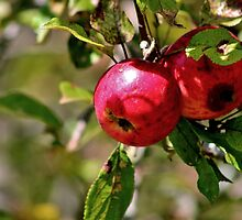 Wild Apples by Kathleen Daley