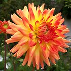 A Bold and Beautiful Dahlia  by hootonles