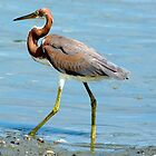Tri-Colored Heron Walking Around by imagetj