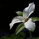 Trillium in partial shade by cclaude