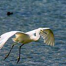 Snowy Egret inflight by imagetj