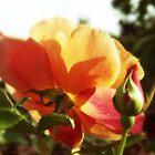 Autumn Rose by OlaG