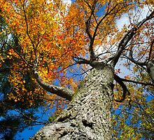 Fall Maple Tree by Christina Rollo