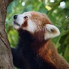 Red Panda by Ellesscee