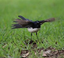 Wings Out Willie Wagtail by Stuart Daddow Photography