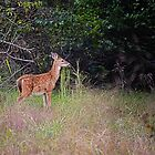 Late Summer Fawn by Sharon Woerner