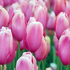 Pretty Pink Tulips by purplesensation