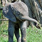 YES I'M DOING THE BABY ELEPHANT WALK - THE AFRICAN ELEPHANT – Loxodonta Africana by Magaret Meintjes