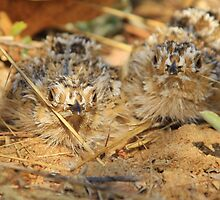 Sand Grouse Camouflage - Natural Beauty by LivingWild