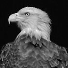 Bald Eagle in B & W by jozi1