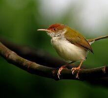 Tailorbird - Sri Lanka by David Clark