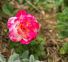 Rose.... by mitpjenkeating