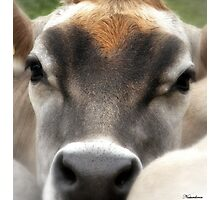 Cow  Eyes Photographic Print