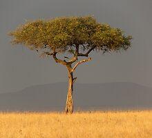 ACACIA TREE by marieleephoto