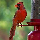 Cardinal beauty by Stacie Forest