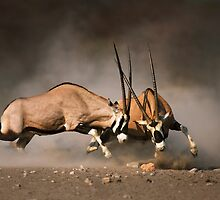 Gemsbok fight by johanswanepoel