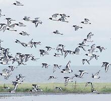 Oyster Catchers take flight by tmtht
