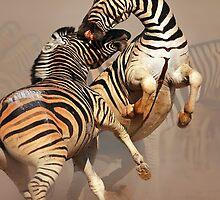 Zebras fighting by johanswanepoel