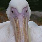 Pelican portrait by Sandra Caven